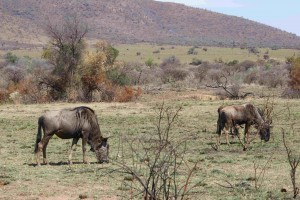P Blou Wildebeeste